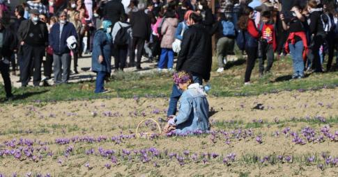 Safran tarlasında resim çektirmek  için sıraya girdiler